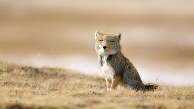 狡猾狐狸里的老干部——藏狐,国字脸,丧眼神,是不是有点萌?